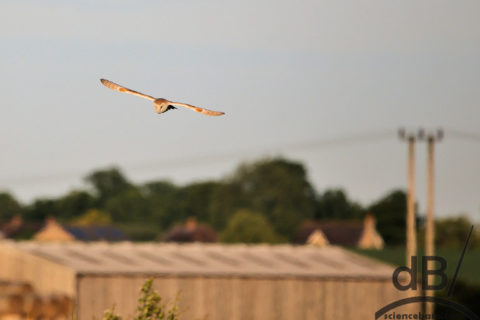 barn owl and prey