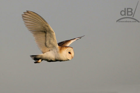 barn owl in flight, closeup