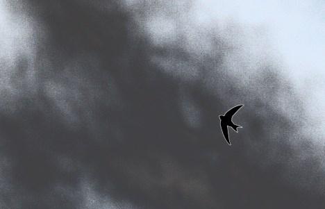 bird-swift-sky