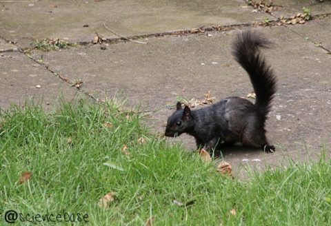 black-squirrel-130405