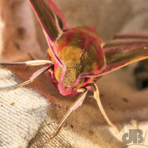 Elephant Hawk Moth Deilephila Elpenor David Bradley