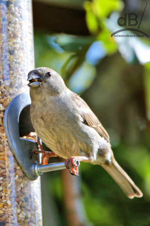 Female house sparrow bird feeder