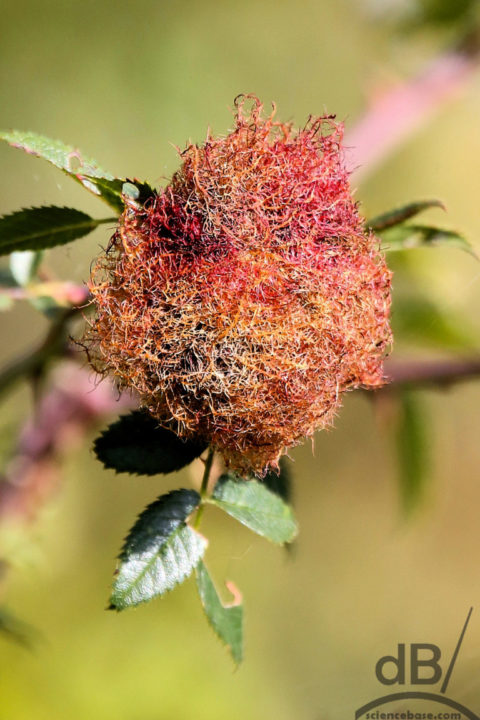 Mossy rose gall