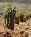 Hoodia gordonii from BBC site