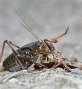 Mormon Cricket - Cannibalism