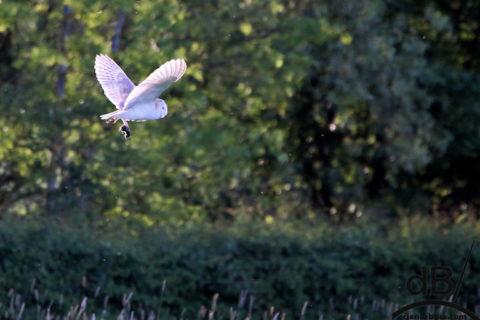 barn owl and barn