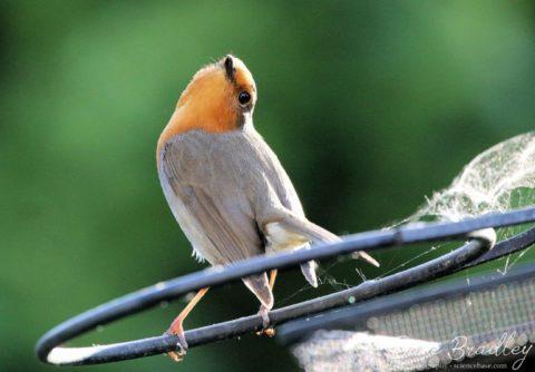 Robin redbreast, Erithacus rubecula