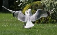 seagulls fighting