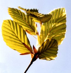 Bristling beech leaves