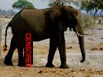 Censored elephant