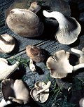Edible wild mushrooms