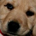 Non-chocolate Labrador