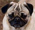 Wrinkly dog, pug